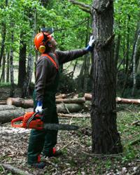 Motorsågskörkort, trädfällning, grund